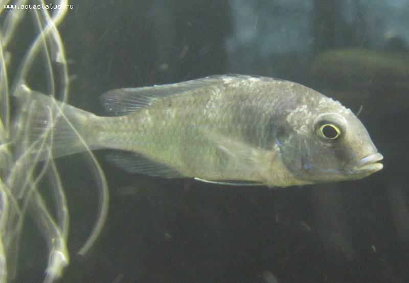 Как лечить белый налет на аквариумных рыбках