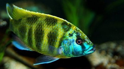 Нимбохромис венустус (Nimbochromis venustus) — Nimbochromis-venustus-Male-3.jpg
