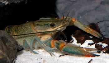 Раки в аквариуме. Пресноводные раки. — Cherax quadricarinatus.jpg
