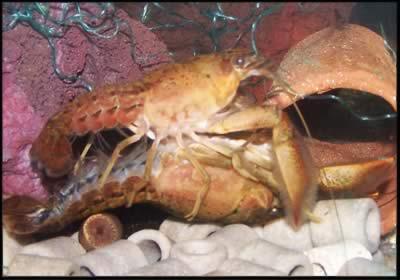 Раки в аквариуме. Пресноводные раки. — Procambarus acanthophorus.jpg