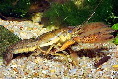 Раки в аквариуме. Пресноводные раки. — Procambarus acanthophorus3.jpg