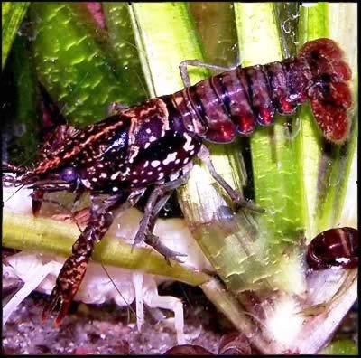 Раки в аквариуме. Пресноводные раки. — Procambarus enoplosternum.jpg