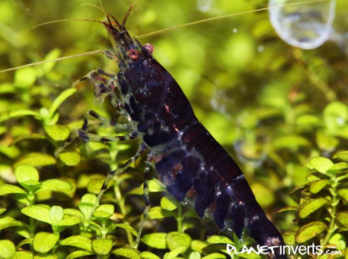"""Черная тигровая креветка (Black Tiger, Caridina cantonensis sp. """"Black Tiger"""") — black_tiger_shrimp_4.jpg"""
