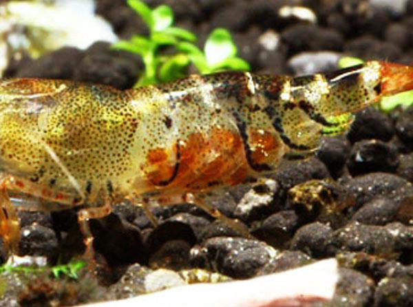 "Оранжевая пчела (Orange Bee Shrimp, Caridina cf. cantonensis ""Orange Bee"") — orange_bee_shrimp_eggs.jpg"