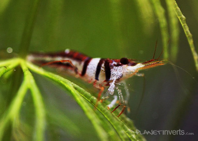 Креветка арлекин, арлекин (Harlequin Shrimp, Caridina cf. spongicola) — harlequin_shrimp2.jpg