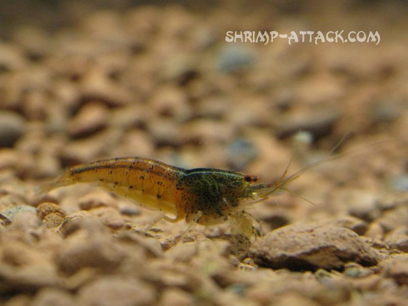 """Креветка Red Tupfel (Caridina serrata sp. """"Red Tupfel"""") — red_tupfel_shrimp3.jpg"""