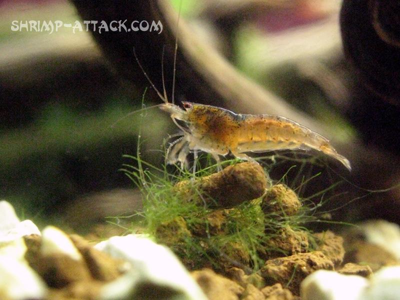 """Креветка Red Tupfel (Caridina serrata sp. """"Red Tupfel"""") — red_tupfel_shrimp4.jpg"""