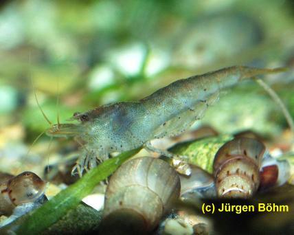 """Неокардина """"Мини Японика"""" (Neocaridina sp. """"Mini-Japonica"""") — mini_japonica2.jpg"""