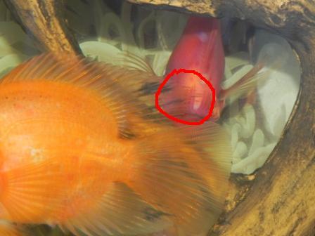Что делать если рыбки чешутся об камни