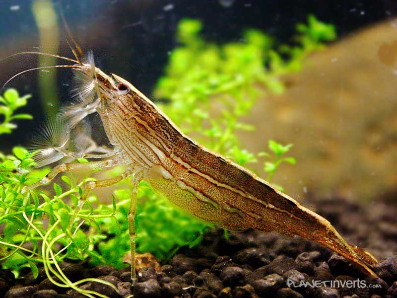 Атиопсис, банановая креветка (Bamboo Shrimp, Atyopsis moluccensis) — Атиопсис.jpg