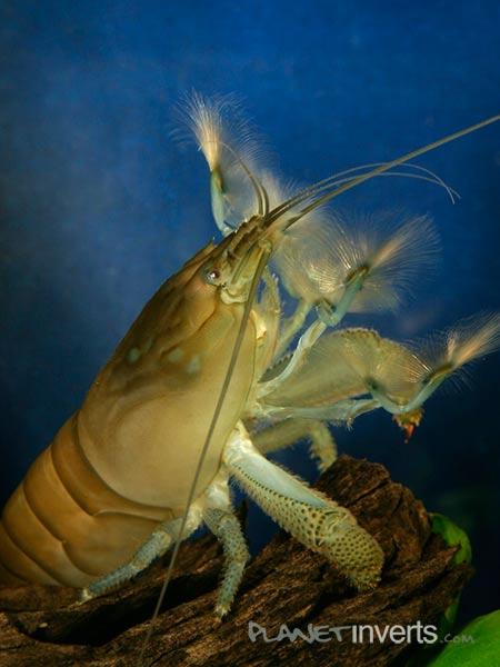 Атия, креветка-фильтратор (African Filter Shrimp, Atya gabonensis) — атия.jpg