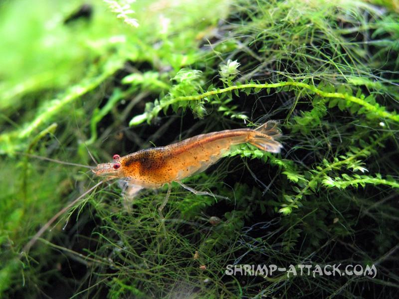 """Креветка Red Tupfel (Caridina serrata sp. """"Red Tupfel"""") — Red Tupfel Shrimp.jpg"""