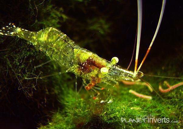 Стеклянная креветка (Palaemonetes paludosus, Ghost Shrimp, Glass Shrimp) — стеклянная креветка.jpg