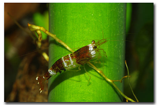Креветка шмель (Caridina cf. breviata 'Hummel', Bumblebee Shrimp) — шмель.jpg