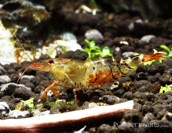 "Оранжевая пчела (Orange Bee Shrimp, Caridina cf. cantonensis ""Orange Bee"") — оранжевая пчела.jpg"