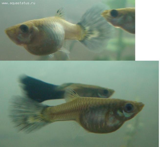 Срок беременности гуппи рыбки