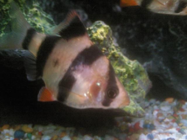 Что делать и с чем это связано? у рыбки появились чёрные точки на левой жаберной крышке, которая немного оттопырена