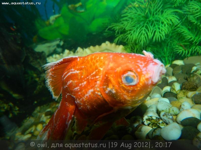 белый налет на рыбках в аквариуме фото