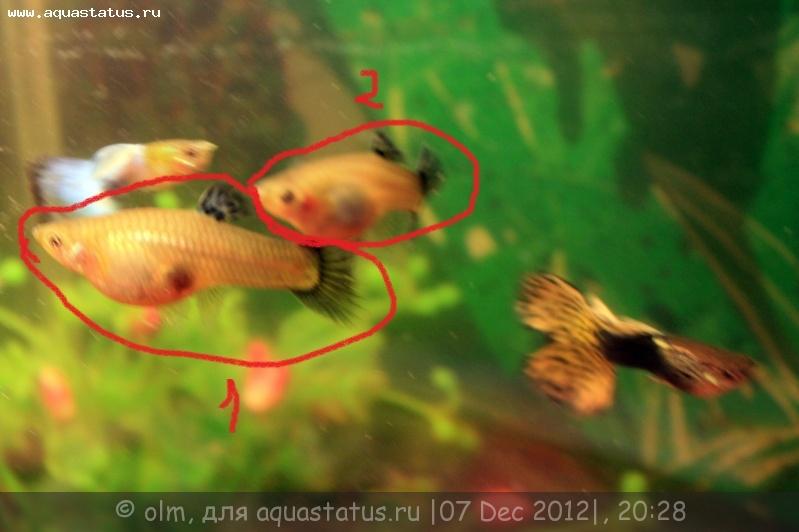 Фото беременных рыбок меченосцы