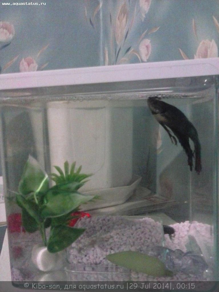 Рыбка петушок плавает на боку почему