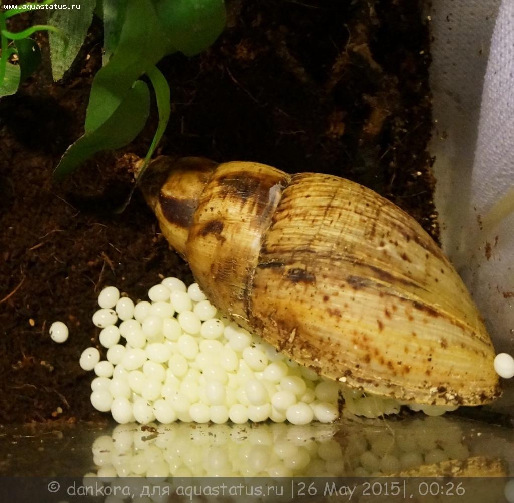 Что ест улитка ахатина в домашних условиях 14