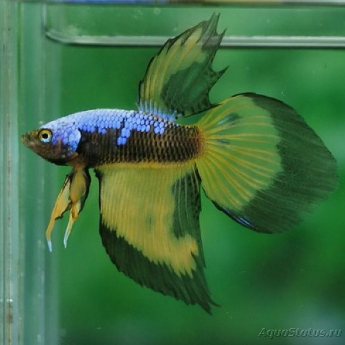 Images of Yellow Veiltail - #rock-cafe