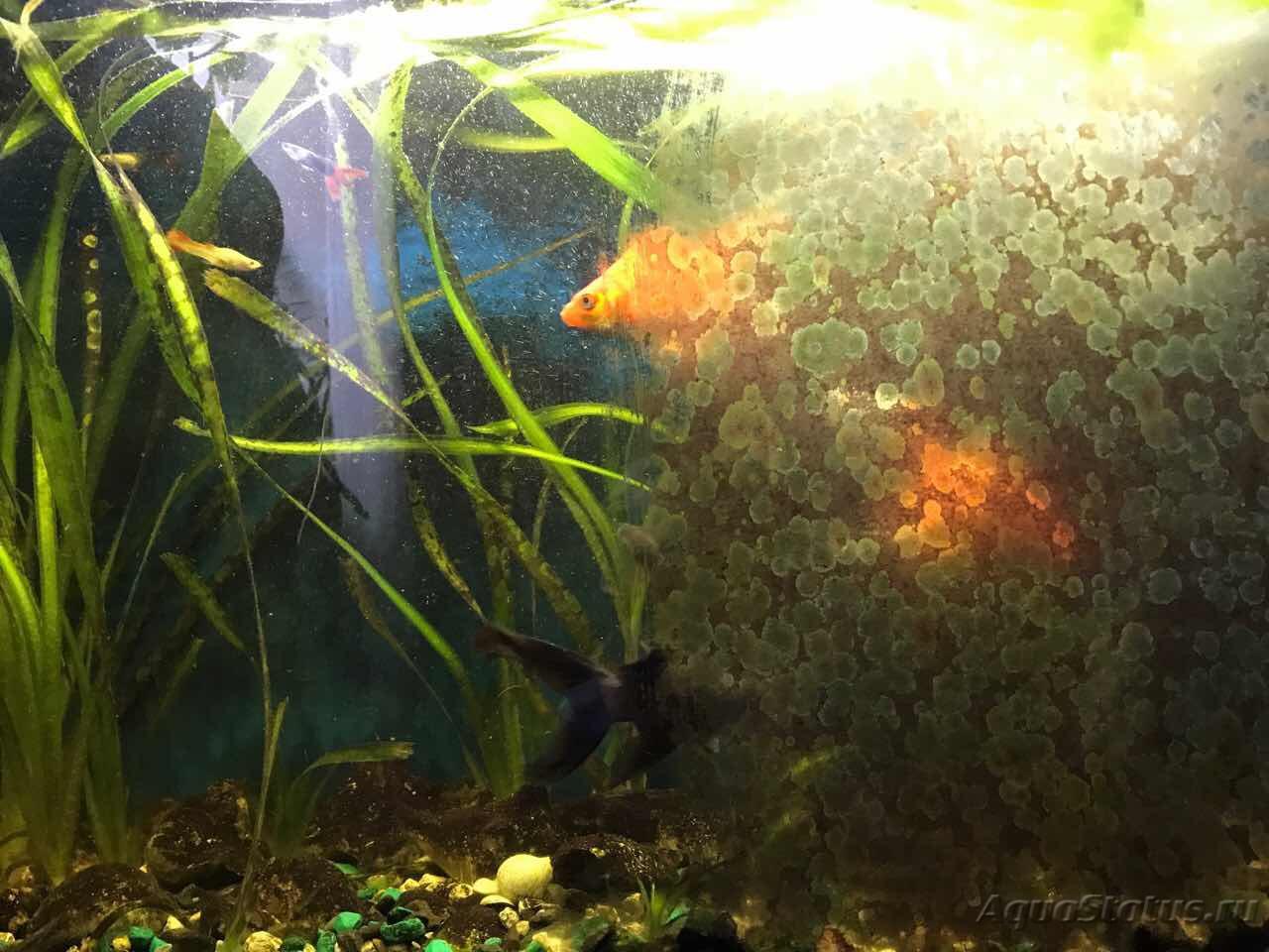 Гигрофила иволистная в аквариуме фото группы