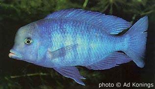 голубой дельфин - cyrtocara_moorii.jpg