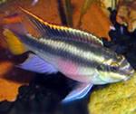 Помогите опознать рыбку опознание рыб  - попугай.jpeg
