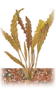 Аквариумные растения - опознание растений. - aponogeton_kurch_red.jpg