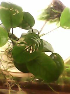 Опознание аквариумных растений - DSC_0000067.jpg