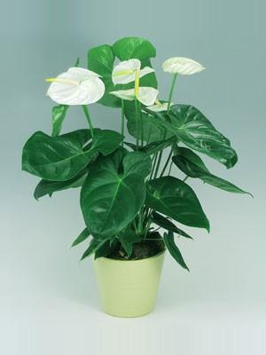 Растения продающиеся под видом аквариумных - anturium2.jpg