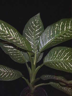 Растения продающиеся под видом аквариумных - dieffenbachia.jpg