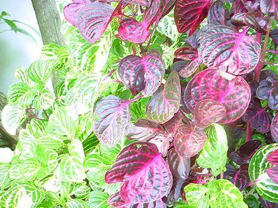 Растения продающиеся под видом аквариумных - ирезине2.jpg