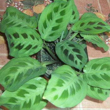 Растения продающиеся под видом аквариумных - маранта1.jpg