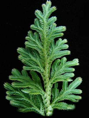 Растения продающиеся под видом аквариумных - селагинелла1.jpg
