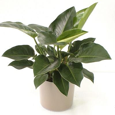 Растения продающиеся под видом аквариумных - филодендрон2.jpg