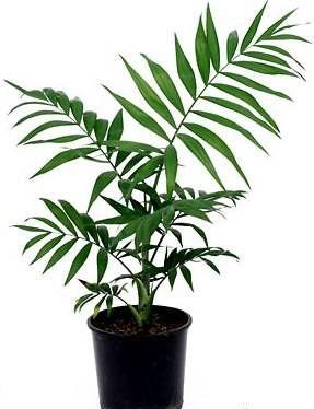 Растения продающиеся под видом аквариумных - хамадорея1.jpg
