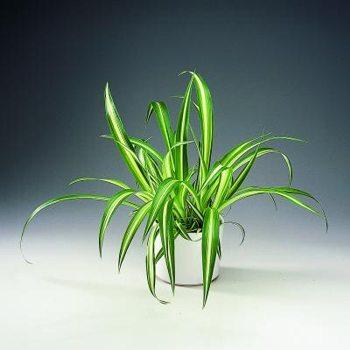 Растения продающиеся под видом аквариумных - хлорофитум1.jpg