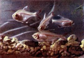 Помогите опознать рыбку опознание рыб  - мин а.jpeg