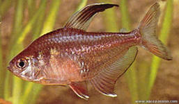 Помогите опознать рыбку опознание рыб  - ор.jpeg