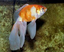 Золотая рыбка - 67_1.jpg