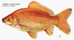 Золотая рыбка - 67_2.jpg