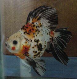 Золотая рыбка - 67_5.jpg