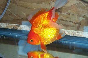 Золотая рыбка - 67_20.jpg