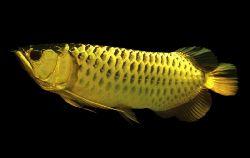 Арована или рыба-дракон - 78_1.jpg