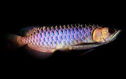 Арована или рыба-дракон - 78_5.jpg