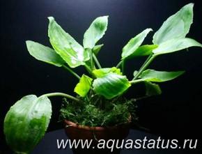 Лагенандра яйцевидная Lagenandra ovata  - lagenandra_ovata.jpg