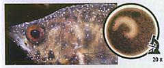 Заболели рыбки ихтиофтириус  - bl_001.jpg