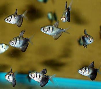 Тернеция в аквариуме - тер подр.JPG